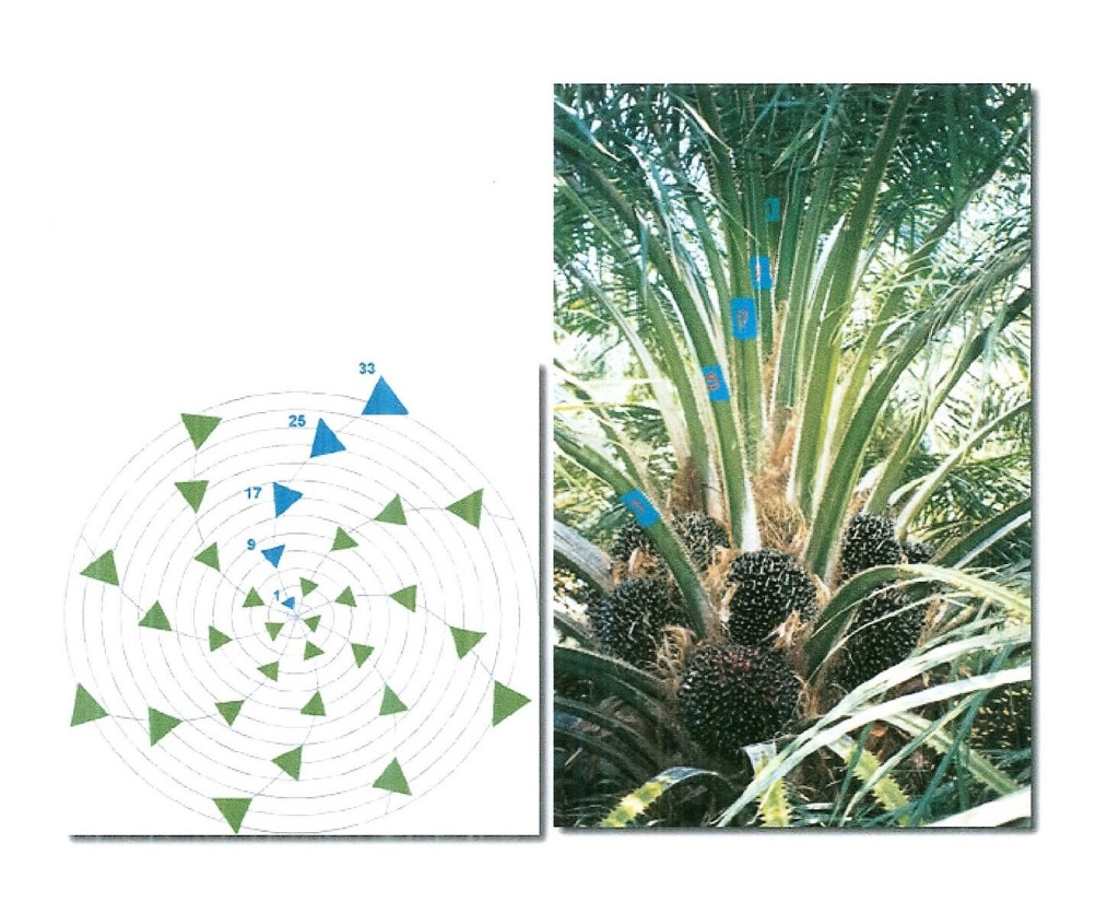 Oil Palm Frond 17